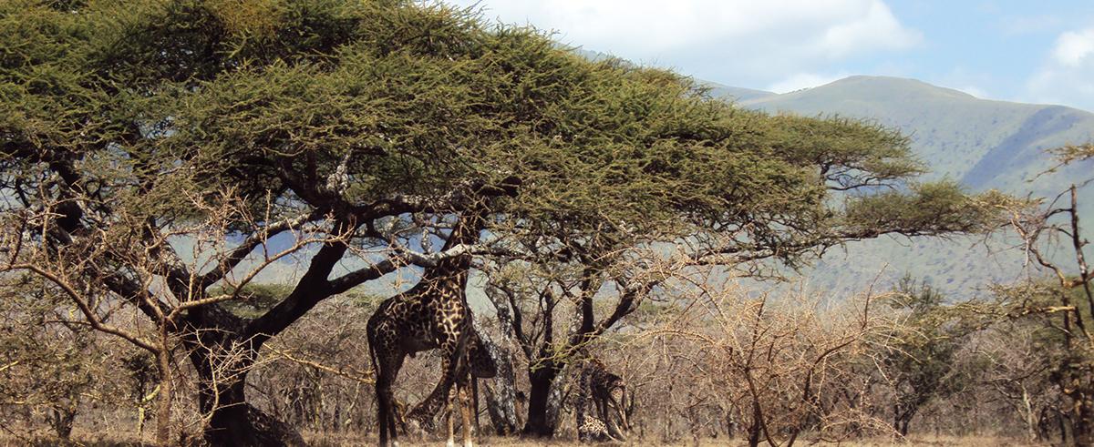 Kirahvista näkyy vain puolet,, kun pää on pensaissa