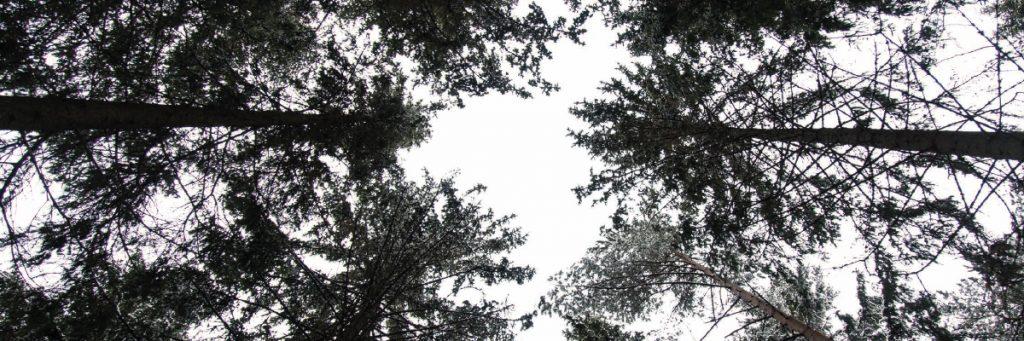 Sammakkoperspektiivistä otettu valokuva puista.