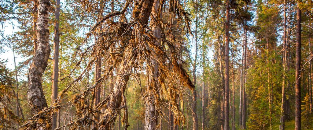 Kuvassa syksyinen auringonlasku vehreässä metsässä. Kuva Patrick Forsblom.