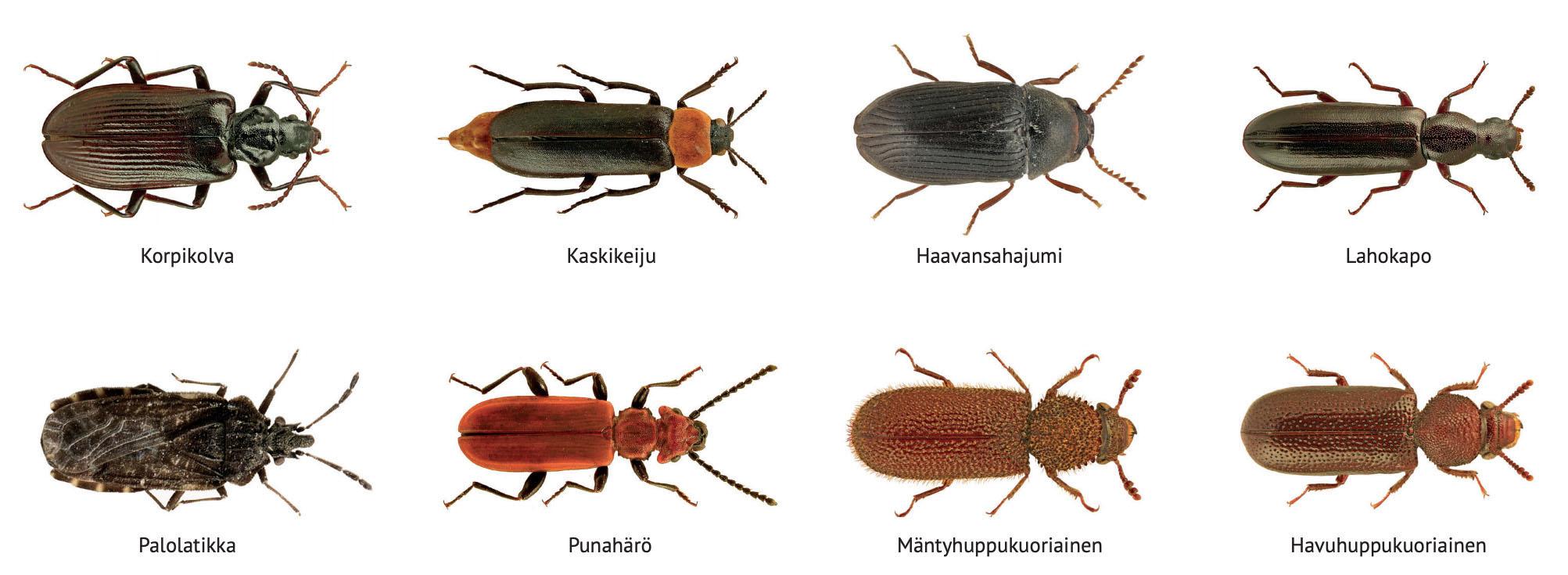 biisisanoittamon-kilpailu-kovakuoriaiset-beetles-life.