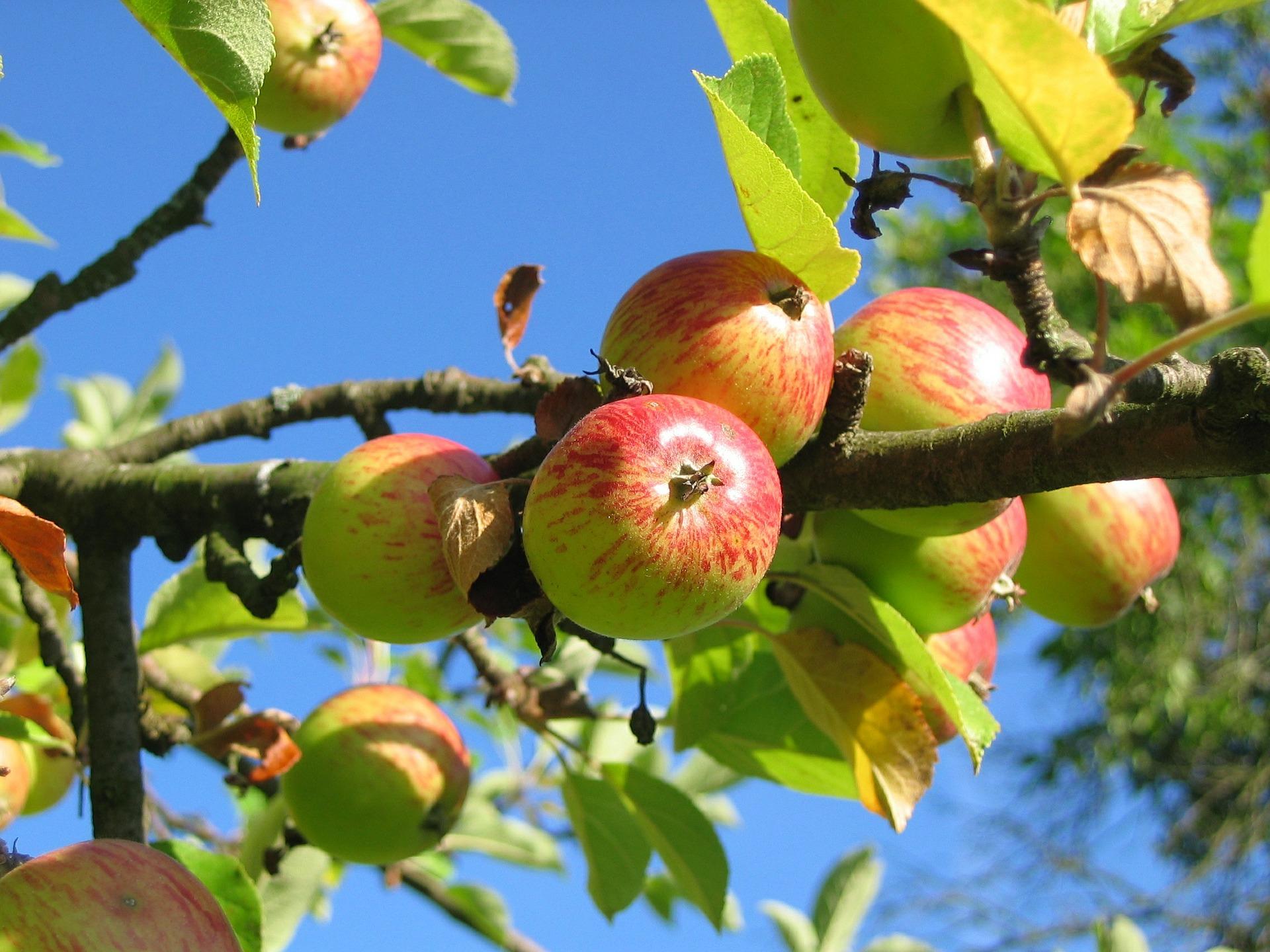 Omenapuun oksa, jossa kymmenkunta kaneliomenapuun omenaa.