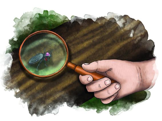 Piirroskuva, ihmiisen käsi joka pitää suurennuslasia, kovakuoriainen puurungon päällä suurennuslasin alla.