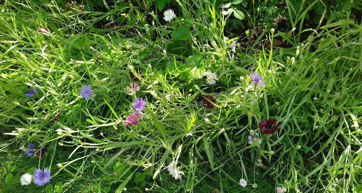 Eri värisiä ruiskukkia ja vihreää nurmikkoa kuvistuskuva. Kuva Marika Stam.